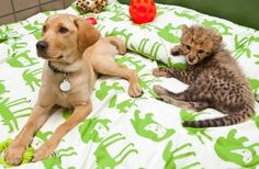 Kasi, Busch Gardens' Cheetah Cub born January 17th 2011, and his playpal Mtani, the Labrador Retriever puppy? For readers who've never met the dynamic duo, Kasi was paired with Mtani in order to help him get accustomed to socializing with other animals.