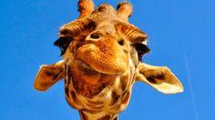 Lo que faltaba: ahora la jirafa es ya una especie en peligro de extinción