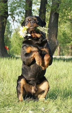 Rottweiler Dog - 56 Pictures                                                                                                                                                                                 More