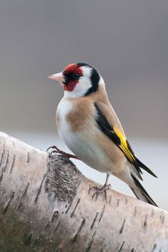 Goldfinch 6 by fremlin