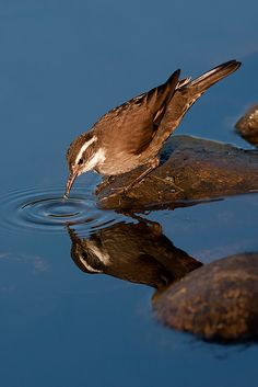 Birding Patagonia - Remolinera Araucana -