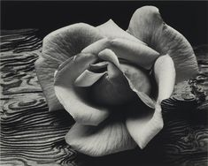 Check out the huge savings on New Amanti Art Ansel Adams Rose and Driftwood San Francisco California 1932 Framed Print at LampsUSA! The best products at discount pricing. Metal Wall Art, Framed Wall Art, Framed Art Prints, Object Photography, Abstract Photography, Ansel Adams, Fine Art Photo, Driftwood Art, Autumn Trees