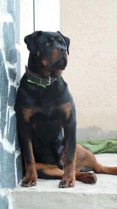 Rottweiler love the sitting!