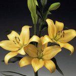 Rousseau Asian Lilies, Lily, Plants, Orchids, Flora, Plant, Lilies