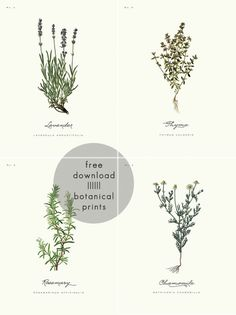 Free printables | 4 Botanical Prints from A Daily Something site. {Note: Scroll to end of post and click on either the '8x10 prints' or '9x12 prints' links. Will make lovely wrapping paper or framed wall prints!}
