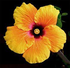 tropical+flowers   Yellow Hibiscus Hibiscus tiliaceus