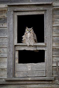 steelromanticism: Great Horned Owl