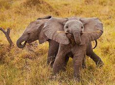 O momento perfeito em que um elefante sortudo achou um pouco de pastinho delicioso.