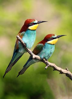 European Bee-eater (Merops apiaster),photo by Sandor Bernath