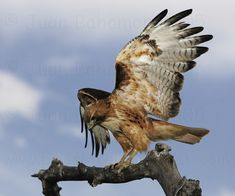 Hawk | red_tailed_hawk_perched_sha