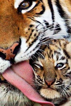 Tiger with baby - / tigers / wild cats - wildlife / animal photography pictures / photos / cute / sweet Nature Animals, Animals And Pets, Wild Animals, Beautiful Cats, Animals Beautiful, Cute Baby Animals, Funny Animals, Gato Grande, Tier Fotos