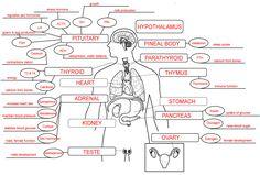 Endocrine System Concept Map