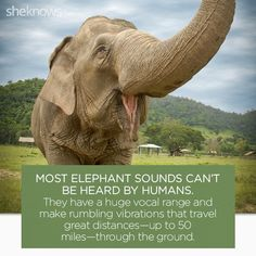 [sc [sc 22 Elephant facts that prove they deserve better: Elephant voices [sc Elephant Brain, Happy Elephant, Wild Elephant, Asian Elephant, Elephant Love, African Elephant Facts, Elephant Spirit Animal, Funny Elephant, Frogs