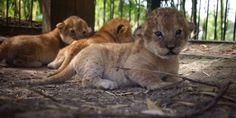 Safaripark Beekse Bergen heeft er drie leeuwenwelpjes bij. Leeuwin Mariska is twee weken geleden bevallen van een drieling.Moeder en haar welpjes maken het goed. Het dierenpark heeft bewust gewacht met het naar buiten brengen van het heugelijke nieuws. De welpjes zijn 'nog heel kwetsbaar', meldt Lisette Kars van Safaripark Beekse Bergen, zo valt te lezen…