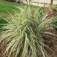 Ornamental grasses offer color and texture to the landscape year round.