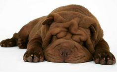 Brown Dog (((LOVE))) puddle of choc. Shar Pei Puppies, Cute Puppies, Cute Dogs, Dogs And Puppies, Doggies, Cachorros Shar Pei, Animals And Pets, Baby Animals, Cute Animals