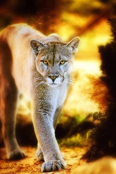 Mountain Lion inspiration for Sol's cats but in different fur Beautiful Cats, Animals Beautiful, Cute Animals, Mundo Animal, My Animal, Big Cats, Cats And Kittens, Regard Animal, Gato Grande