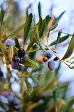 His branches shall spread and His beauty shall be as the olive tree. Hosea 14:6