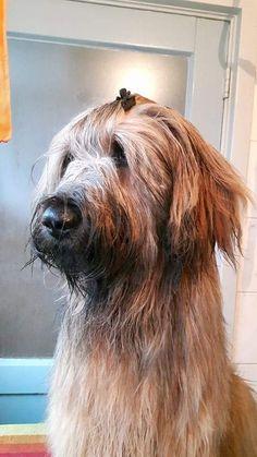 Briard en schapendoes Dogs, Animals, Feel Better, Animales, Animaux, Pet Dogs, Doggies, Animal, Animais
