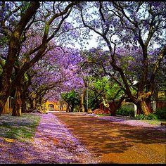 Purple rain. Jacaranda trees in the streets of Pretoria, South Africa.