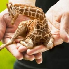 omigoodness!!  Is this real?  I need a tiny pet giraffe if it is.