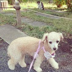 ✨ #dog#toypoodle#toypoodlelove#犬#ワンコ#トイプードル#cat#straycat#猫#ニャンコ