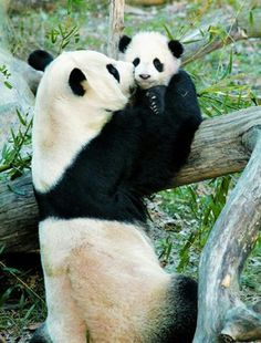 A mother's love is universal - A Giant Panda holds her cub on a tree http://en.wikipedia.org/wiki/Panda