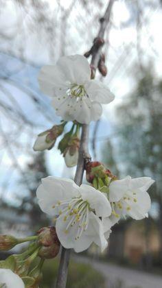 Kirsikka kukkii