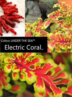 New for 2013! Coleus UNDER THE SEA Electric Coral