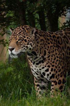 Beautiful Jaguar !!