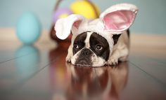 Easter Frenchie