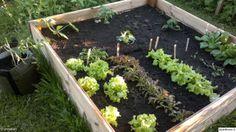 puutarha,kasvimaa,kasvit,kasvilaatikko,hyötypuutarha