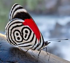 Photograph: 88 by Ricardo Bevilaqua What a beautiful butterfly! The RED is so unexpected and strong! Cool Insects, Bugs And Insects, Beautiful Bugs, Beautiful Butterflies, Butterfly Kisses, Butterfly Wings, Beautiful Creatures, Animals Beautiful, Cool Bugs