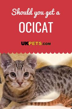 This kitty has been described as having a doglike personality. It bonds very strongly with its humans and craves attention. Siberian Cats For Sale, Hypoallergenic Cats, Ocicat, Lazy Cat, Sleepy Cat, Cat Sitting, Beautiful Cats, Cat Life, Cat Breeds