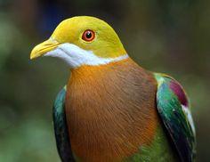 beautiful ornate fruit-dove :)