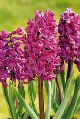 Hyacinth Woodstock- Bulbs