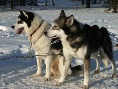 Profitez des safaris avec les huskies en Laponie