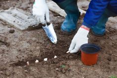 Knoblauch vermehren – 3 Möglichkeiten vorgestellt