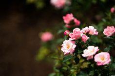 写真 桜霞 薔薇の一種です。