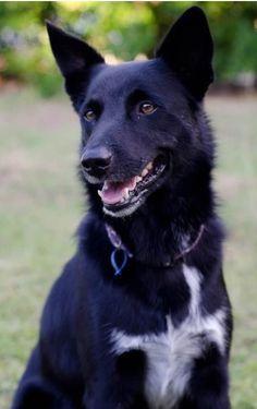 My Australian Kelpie x Border Collie Pomchi Dogs, Schnoodle Dog, Australian Dog Breeds, Australian Cattle Dog, Australian Shepherds, West Highland Terrier, Scottish Terrier, Rottweiler, Undertale Dog