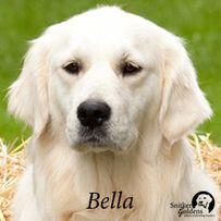 14 Best Snitker Golden Retrievers images | Golden family, Puppies ...