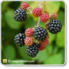 Blackberries - growing Blackberries - how to grow Blackberries