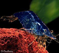 blueberry shrimp