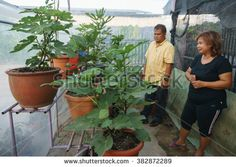 Kota Kinabalu Sabah Malaysia - Feb 23, 2016:Unidentified person looking at fig tree at home garden in Kota Kinabalu Sabah.Fig tree gardening is a blooming hobby among people in Malaysia.