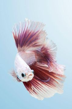 Everything you need to know about most beautiful betta fish in the world