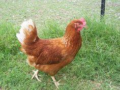 Danish Guide to Chicken Breeds