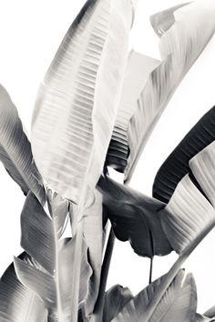 banana-leaves-banana-leaf-tropical-leaves-leaf-print-black-and-white-bw-tropical-botanical-prints.jpg (700×1050)