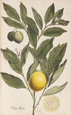 Citrus medica in Theodor Friedrich Ludwig Nees von Esenbeck's Plantae officinales medicinales. 1828.