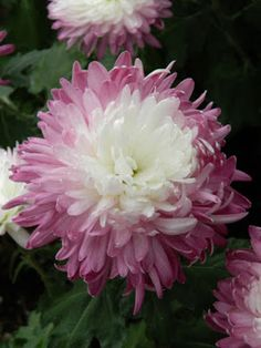 Allan Gardens Conservatory 2015 Chrysanthemum Show purple decorative mum by… Toronto Gardens, Fall Clean Up, Fall Mums, Mums The Word, Chrysanthemum Flower, Let Freedom Ring, Flower Show, Conservatory, Dahlia