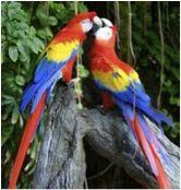 Hay mucho pájaros  esta en Costa Rica. Un pájaro  se llama Scarlet Mcaw y eso es muy colorido! El nombre científico es Ara Macao. La pájaros vida útil es de 50 a 80 años. Viven en árboles de los bosques tropicales y desidious. Ellos son muy Fuertes! Los pájaros les encanta comer semillas, nueces, frutas, néctar y flores. A veces, la lechuga y bocadillos! Las aves más jóvenes = ojos negros y pájaros mayores = ojos amarillos. Estos loros son especies amenazadas! - Kiki